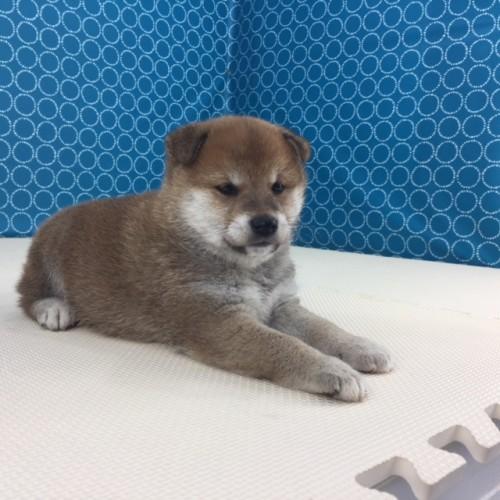 柴犬の子犬(ID:1262511502)の2枚目の写真/更新日:2018-04-16