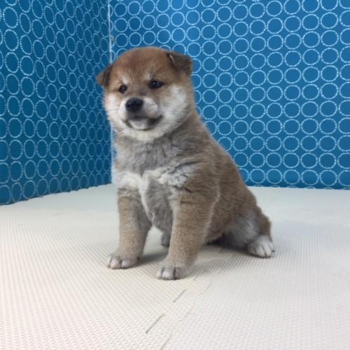 柴犬の子犬(ID:1262511502)の5枚目の写真/更新日:2018-04-16
