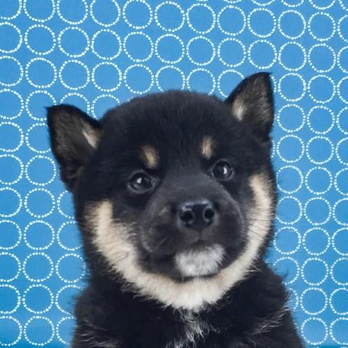 柴犬の子犬(ID:1262511503)の1枚目の写真/更新日:2018-04-16