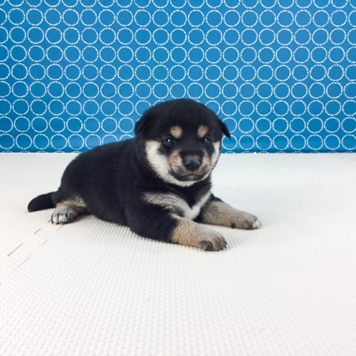 柴犬の子犬(ID:1262511505)の2枚目の写真/更新日:2018-04-18