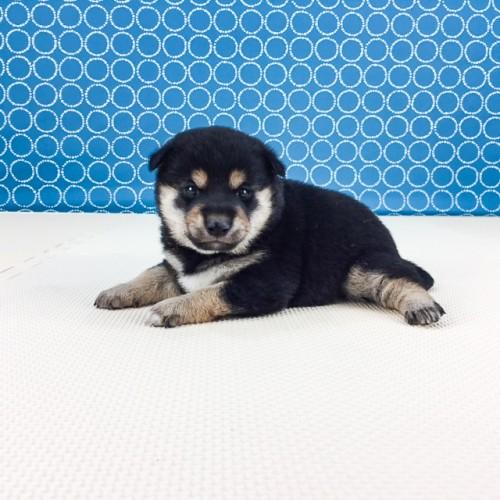 柴犬の子犬(ID:1262511505)の3枚目の写真/更新日:2018-04-18