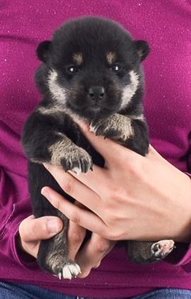 柴犬の子犬(ID:1262511506)の2枚目の写真/更新日:2018-04-18
