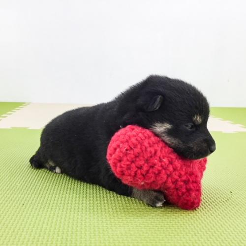 柴犬の子犬(ID:1262511506)の4枚目の写真/更新日:2018-04-18