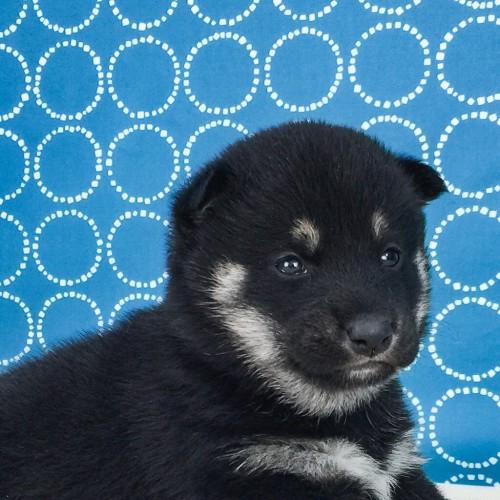 柴犬の子犬(ID:1262511507)の1枚目の写真/更新日:2018-04-18
