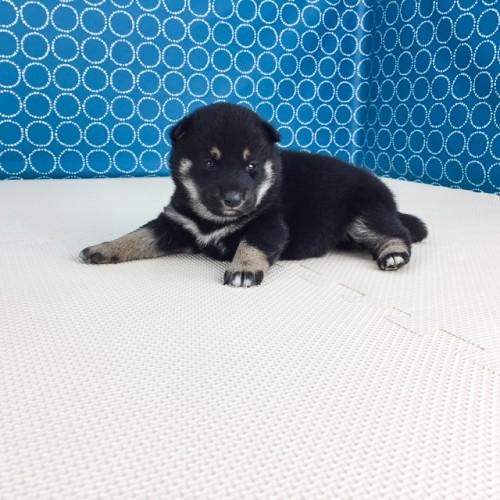 柴犬の子犬(ID:1262511507)の4枚目の写真/更新日:2018-04-18