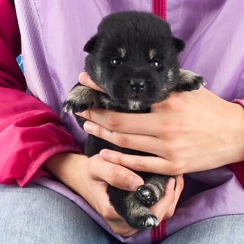 柴犬の子犬(ID:1262511508)の2枚目の写真/更新日:2018-05-07
