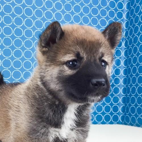 柴犬の子犬(ID:1262511509)の1枚目の写真/更新日:2018-05-26