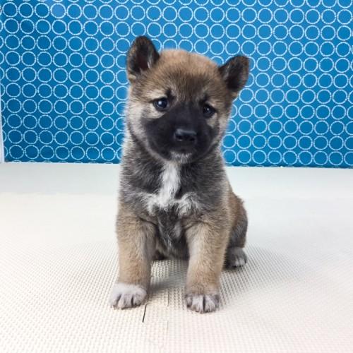 柴犬の子犬(ID:1262511509)の2枚目の写真/更新日:2018-05-26