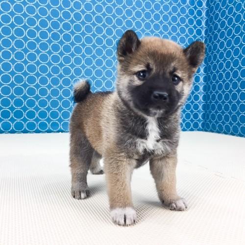 柴犬の子犬(ID:1262511509)の3枚目の写真/更新日:2018-05-26