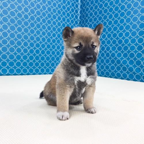 柴犬の子犬(ID:1262511509)の4枚目の写真/更新日:2018-05-26