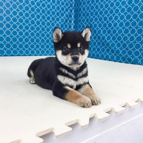 柴犬の子犬(ID:1262511510)の2枚目の写真/更新日:2018-05-10