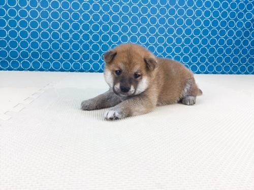 柴犬の子犬(ID:1262511511)の2枚目の写真/更新日:2018-05-21