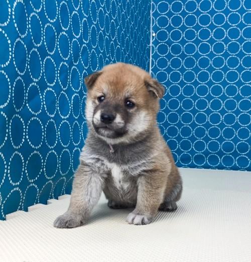 柴犬の子犬(ID:1262511511)の3枚目の写真/更新日:2018-05-21