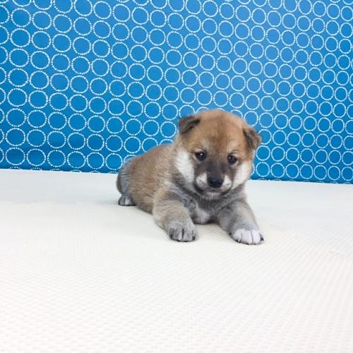 柴犬の子犬(ID:1262511511)の4枚目の写真/更新日:2018-05-21