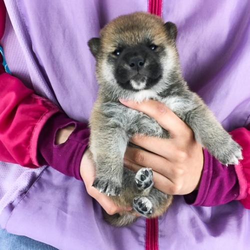 柴犬の子犬(ID:1262511512)の2枚目の写真/更新日:2018-05-12