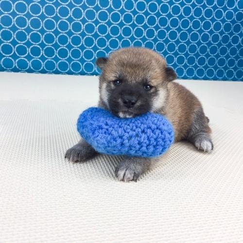 柴犬の子犬(ID:1262511512)の4枚目の写真/更新日:2018-05-12
