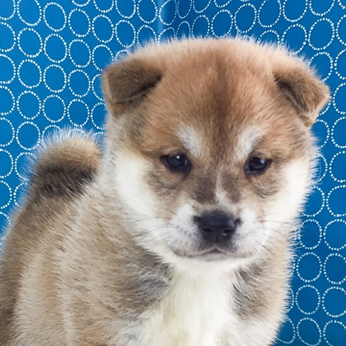 柴犬の子犬(ID:1262511513)の1枚目の写真/更新日:2018-05-23
