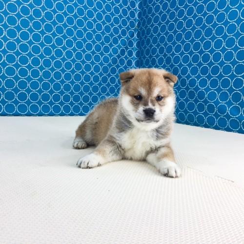 柴犬の子犬(ID:1262511513)の2枚目の写真/更新日:2018-05-23