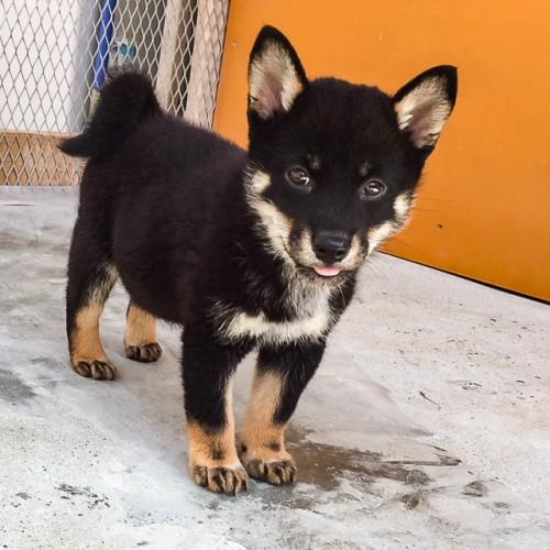 柴犬の子犬(ID:1262511514)の3枚目の写真/更新日:2018-06-17