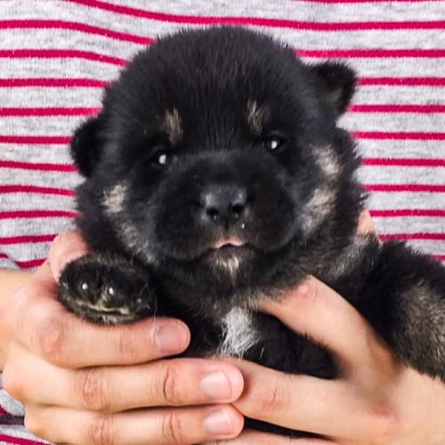 柴犬の子犬(ID:1262511515)の1枚目の写真/更新日:2018-05-25