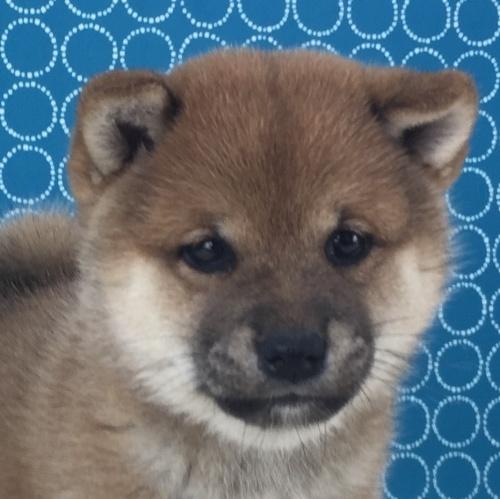 柴犬の子犬(ID:1262511517)の1枚目の写真/更新日:2018-06-15