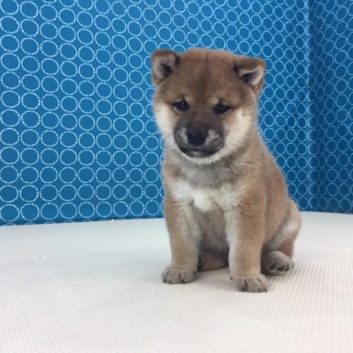 柴犬の子犬(ID:1262511517)の2枚目の写真/更新日:2018-06-15