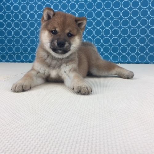 柴犬の子犬(ID:1262511517)の3枚目の写真/更新日:2018-06-15
