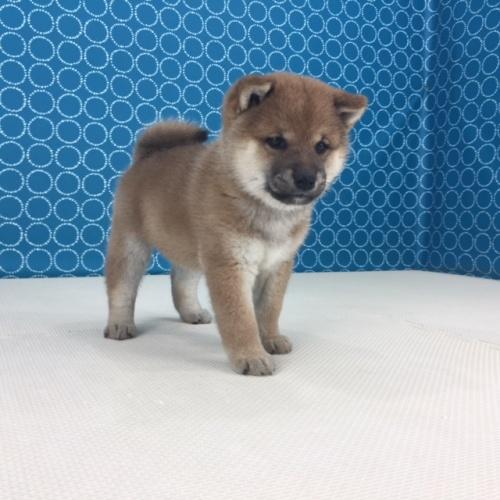 柴犬の子犬(ID:1262511517)の4枚目の写真/更新日:2018-06-15