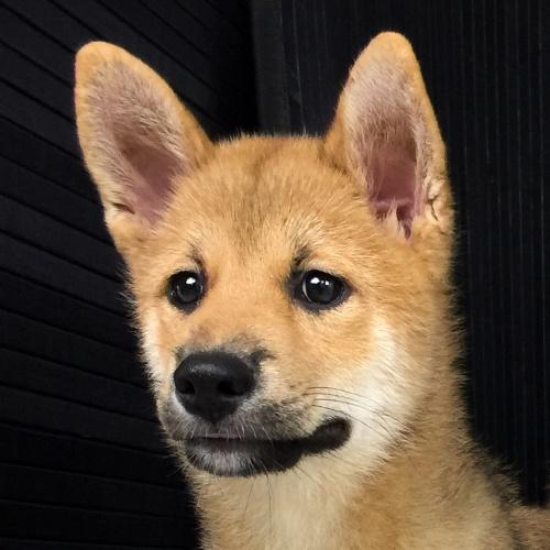 柴犬の子犬(ID:1262511519)の1枚目の写真/更新日:2018-06-19