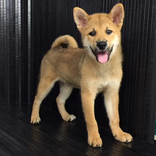 柴犬の子犬(ID:1262511519)の3枚目の写真/更新日:2018-06-19