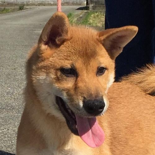 柴犬の子犬(ID:1262511520)の1枚目の写真/更新日:2018-09-12