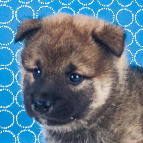柴犬の子犬(ID:1262511521)の1枚目の写真/更新日:2018-06-18
