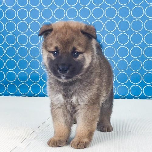 柴犬の子犬(ID:1262511521)の4枚目の写真/更新日:2018-06-18