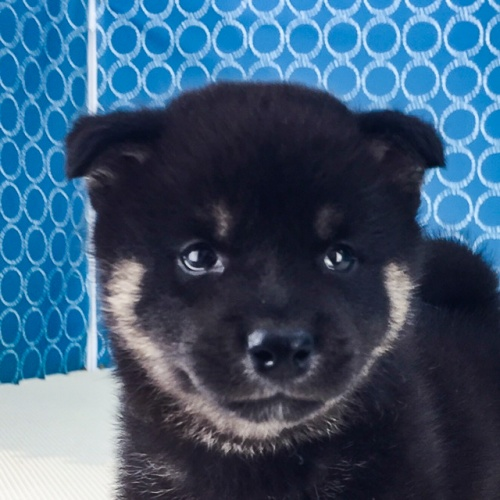 柴犬の子犬(ID:1262511522)の1枚目の写真/更新日:2018-06-18
