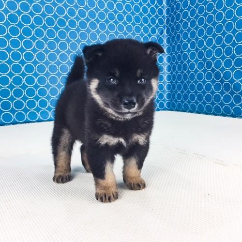 柴犬の子犬(ID:1262511522)の2枚目の写真/更新日:2018-06-18