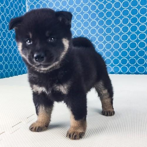 柴犬の子犬(ID:1262511522)の3枚目の写真/更新日:2018-06-18