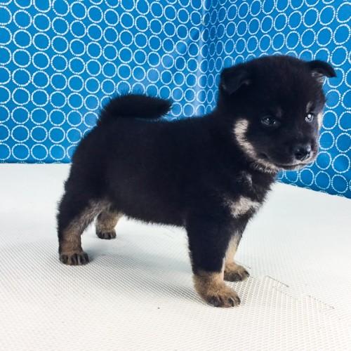 柴犬の子犬(ID:1262511522)の4枚目の写真/更新日:2018-06-18