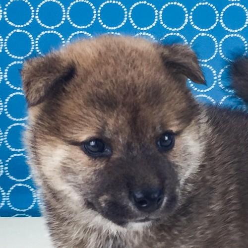 柴犬の子犬(ID:1262511523)の1枚目の写真/更新日:2018-06-19
