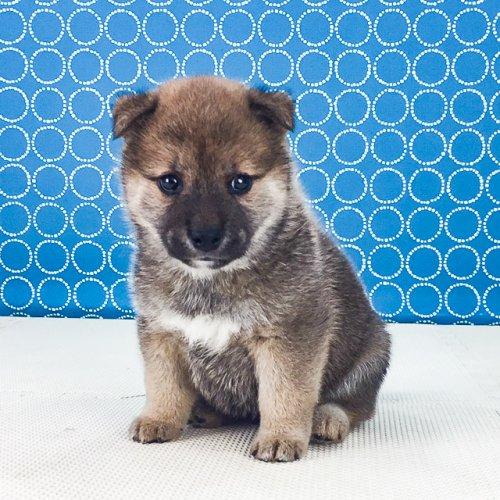 柴犬の子犬(ID:1262511523)の2枚目の写真/更新日:2018-06-19
