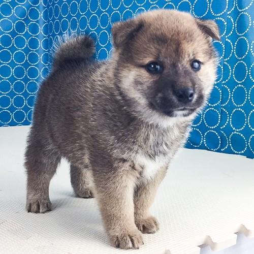 柴犬の子犬(ID:1262511523)の3枚目の写真/更新日:2018-06-19