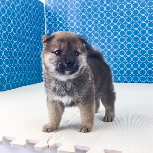 柴犬の子犬(ID:1262511523)の4枚目の写真/更新日:2018-06-19