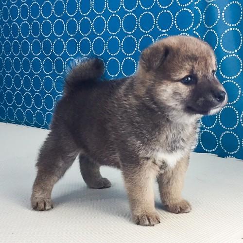 柴犬の子犬(ID:1262511523)の5枚目の写真/更新日:2018-06-19