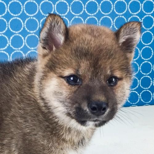 柴犬の子犬(ID:1262511524)の1枚目の写真/更新日:2018-06-19