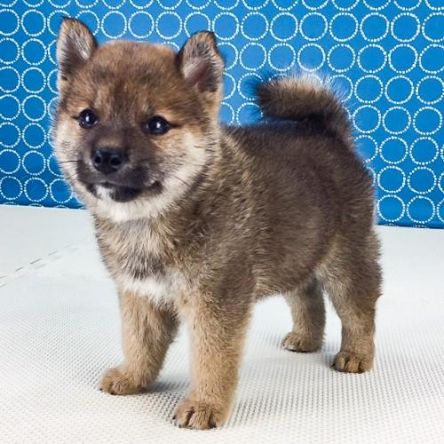 柴犬の子犬(ID:1262511524)の4枚目の写真/更新日:2018-06-19