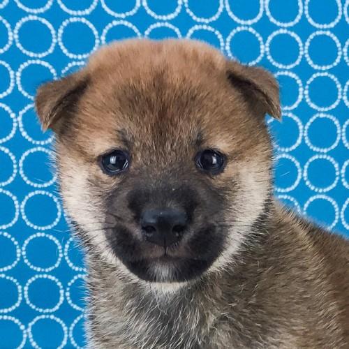 柴犬の子犬(ID:1262511525)の1枚目の写真/更新日:2018-06-14