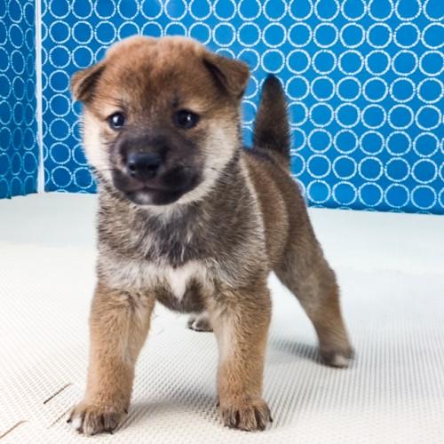 柴犬の子犬(ID:1262511525)の3枚目の写真/更新日:2018-06-14