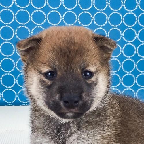 柴犬の子犬(ID:1262511526)の1枚目の写真/更新日:2018-06-14