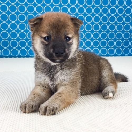 柴犬の子犬(ID:1262511526)の3枚目の写真/更新日:2018-06-14