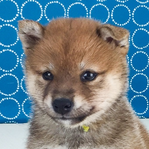 柴犬の子犬(ID:1262511527)の1枚目の写真/更新日:2018-06-14
