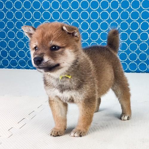 柴犬の子犬(ID:1262511527)の2枚目の写真/更新日:2018-06-14